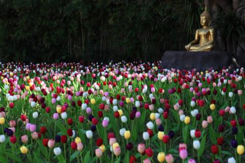 色とりどりのチューリップに囲まれている仏陀像