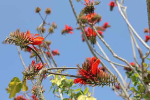 火炎樹のオレンジ色の花