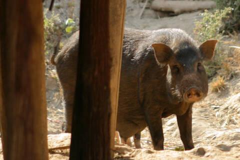 カレン族に飼われている豚