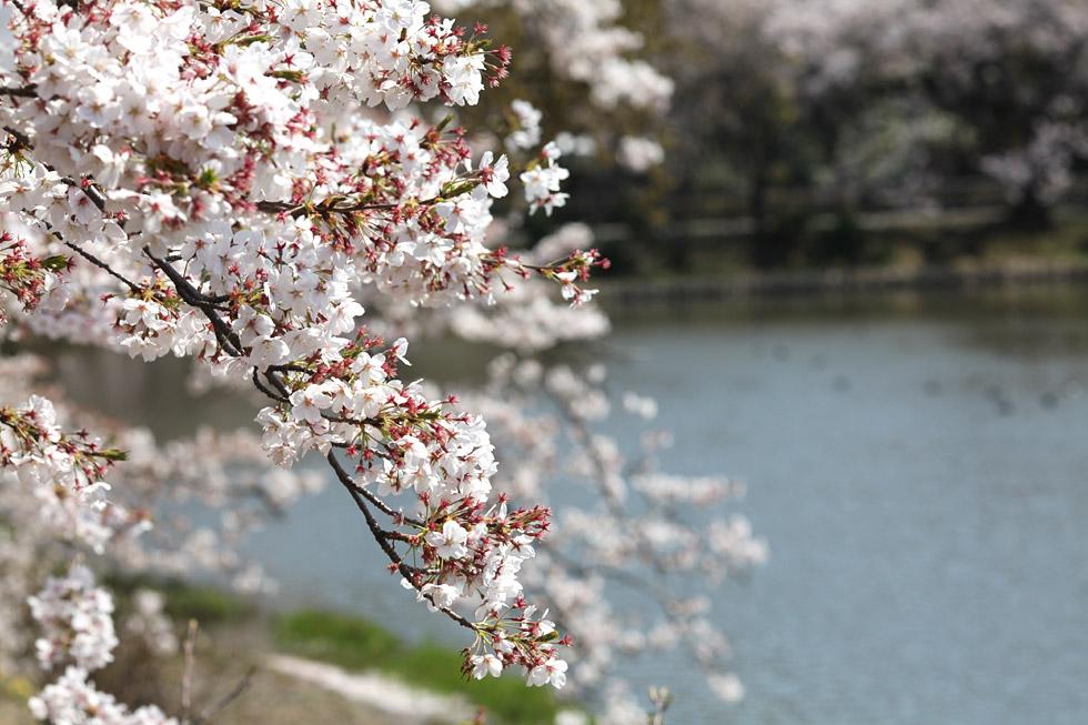 池がある公園の桜