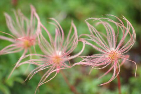 チングルマの花穂 - 剱岳